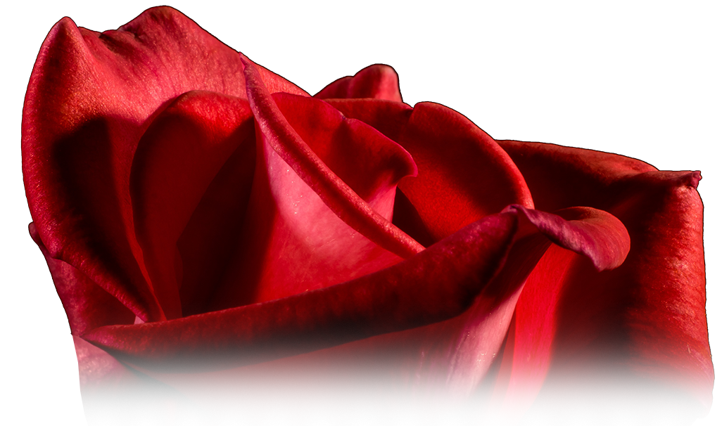healthy red rose